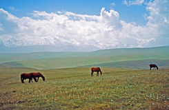 Asian landscape -  steppe, sheep and pamir mountains Royalty Free Stock Image