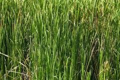 Asian large grass Stock Photography
