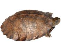 Asian leaf turtle stock photo