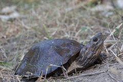 Asian leaf turtle Cyclemys dentata. In the ground royalty free stock image