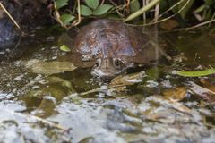 Asian leaf turtle Cyclemys dentata. In the water royalty free stock photo