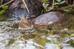 Asian leaf turtle Cyclemys dentata. In the water royalty free stock photos