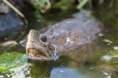 Asian leaf turtle Cyclemys dentata. In the water stock image