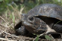 Asian leafe turtle Cyclemys dentata. Indonesia royalty free stock photography