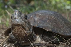 Asian leafe turtle Cyclemys dentata. Indonesia stock images
