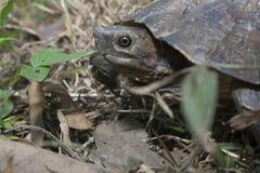 Asian leafe turtle Cyclemys dentata. Indonesia royalty free stock photo