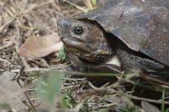 Asian leafe turtle Cyclemys dentata. Indonesia stock image