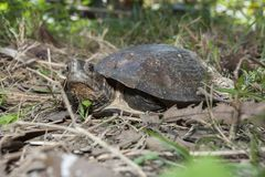 Asian leafe turtle Cyclemys dentata. Indonesia royalty free stock images
