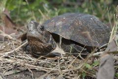 Asian leafe turtle Cyclemys dentata. Indonesia stock photos