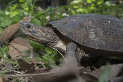 Asian leafe turtle Cyclemys dentata. Indonesia stock photography