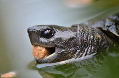 Asian leafe turtle. In water Royalty Free Stock Image