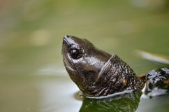 Asian leafe turtle. In water Royalty Free Stock Photos