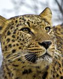 Asian leopard Royalty Free Stock Photo