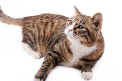 Asian leopard cat. A leopard cat is seeing its companion playing above Royalty Free Stock Photography