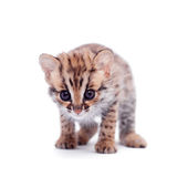 The asian leopard cat on white Royalty Free Stock Photo