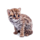 The asian leopard cat on white Stock Images