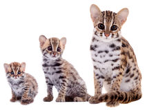 The asian leopard cat on white