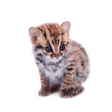 The asian leopard cat on white Royalty Free Stock Photos