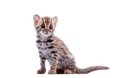 The asian leopard cat on white Royalty Free Stock Image