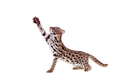 The asian leopard cat on white. Asian leopard cat, Prionailurus bengalensis, isolated on white Stock Image