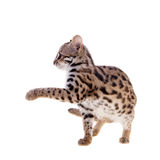 The asian leopard cat on white. Asian leopard cat, Prionailurus bengalensis, isolated on white Stock Photo