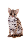 The asian leopard cat on white. Asian leopard cat, Prionailurus bengalensis, isolated on white Royalty Free Stock Photos