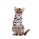 The asian leopard cat on white. Asian leopard cat, Prionailurus bengalensis, isolated on white Royalty Free Stock Images