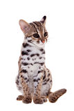 The asian leopard cat on white. Asian leopard cat, Prionailurus bengalensis, isolated on white Royalty Free Stock Image
