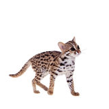 The asian leopard cat on white. Asian leopard cat, Prionailurus bengalensis, isolated on white Royalty Free Stock Photo