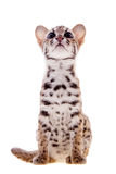 The asian leopard cat on white. Asian leopard cat, Prionailurus bengalensis, isolated on white Stock Photos