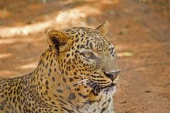 Asian leopard Royalty Free Stock Photos