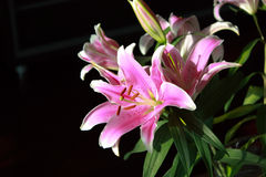 Asian Lily Royalty Free Stock Photography