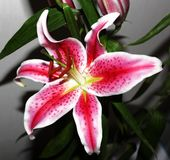 Asian lily in bloom Stock Photos