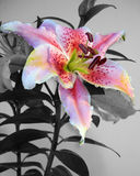 Asian Lily Floral selective color Stock Photo