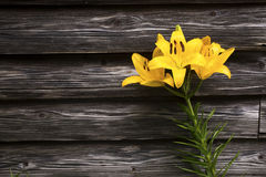 Asian lily flower Royalty Free Stock Images