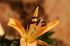 Asian Lily, Orange Royalty Free Stock Photo
