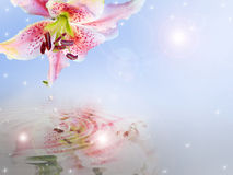 Asian Lily water reflection Background Royalty Free Stock Photos