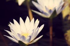 Asian Lily. White Asiatic water Lily blooming in a pond during the day with a retro filter added stock image