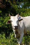 Asian lineage cow Royalty Free Stock Photography