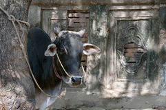 Asian lineage cow and temple wall background Royalty Free Stock Photography
