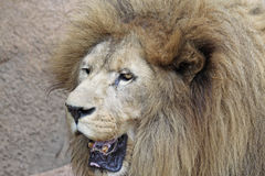 Asian Lion stock photography