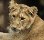 Asian Lion Cub. Portrait of a male Asian Lion cub Royalty Free Stock Photos