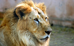 Asian lion Royalty Free Stock Images