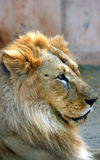 Asian lion Stock Image