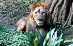Asian lion Stock Photos