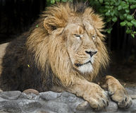 Asian lion 3 Royalty Free Stock Image