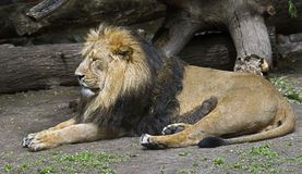 Asian lion 6 Royalty Free Stock Images