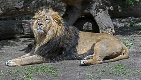 Asian lion male 2 Royalty Free Stock Photos