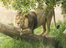 Asian lion Royalty Free Stock Image