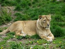 The Asian lioness female Royalty Free Stock Photo